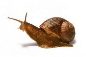 La baba de caracol para eliminar las estrias